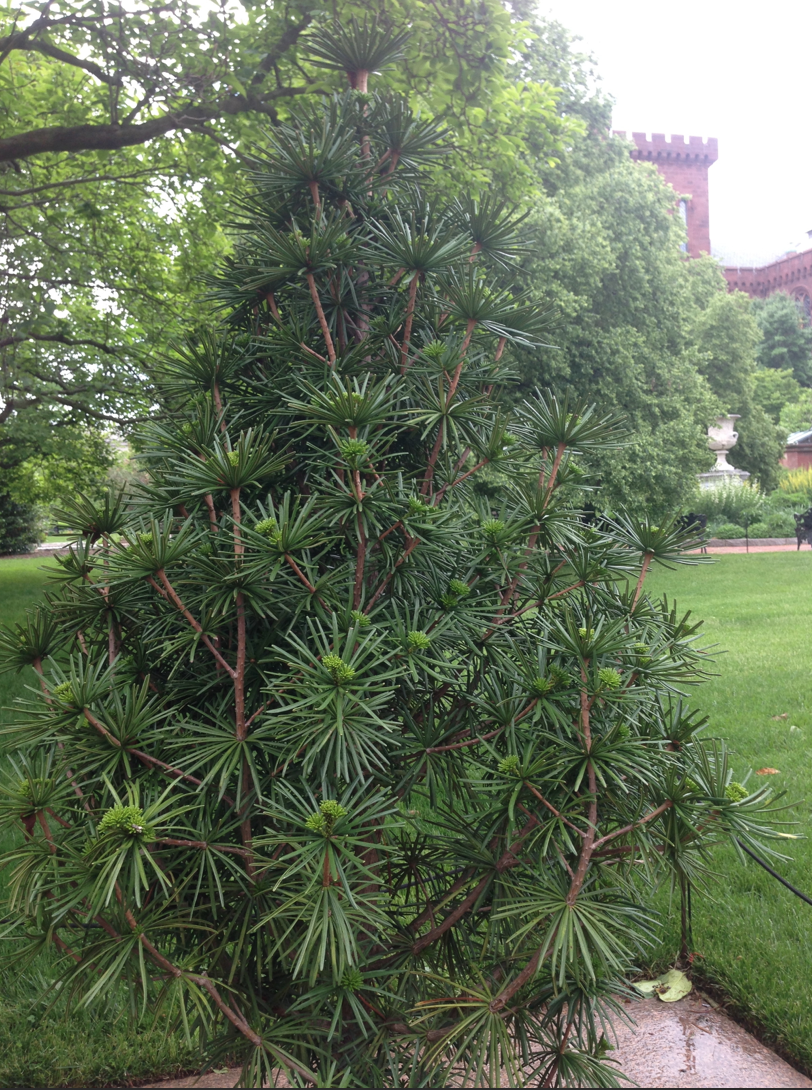 Farisakhalid On Twitter Sciadopitys Verticillata Green Star Anese Umbrella Pine At The Smithsonian Https T Co Fff1dse2ag
