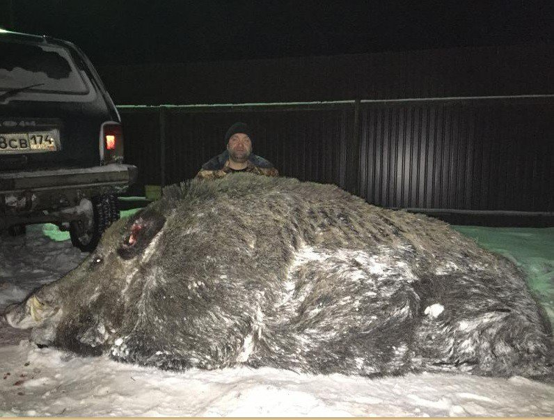 【ロシア】ウラル山脈以東のスヴェルドロフスク州の森で体重535キロの超巨大イノシシが射殺されるthehz.ru/interes/kaban-…画像1枚目のおじさんがイノシシを仕留めたチェリャビンスク・ピーター・マキシモフ36歳 pic.twitter.com/YwtPx94N8s