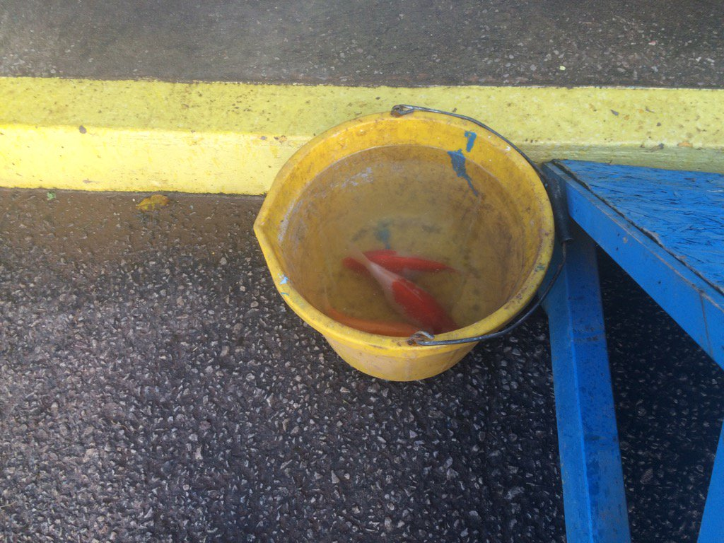 Unbelievable - found by Dave Mitchell yesterday afternoon - three Koi Carp in the Waterworks End goal mouth #cufc https://t.co/YO5TshUGrX