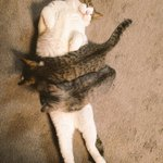 【気働きのできる猫♪】センパイ、お世話はウチらにまかしてぇな!