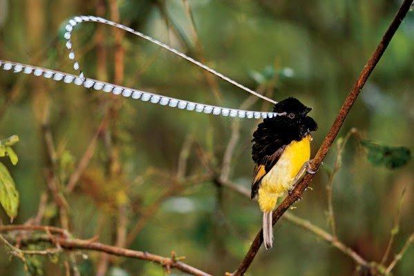 عصافير الجنة