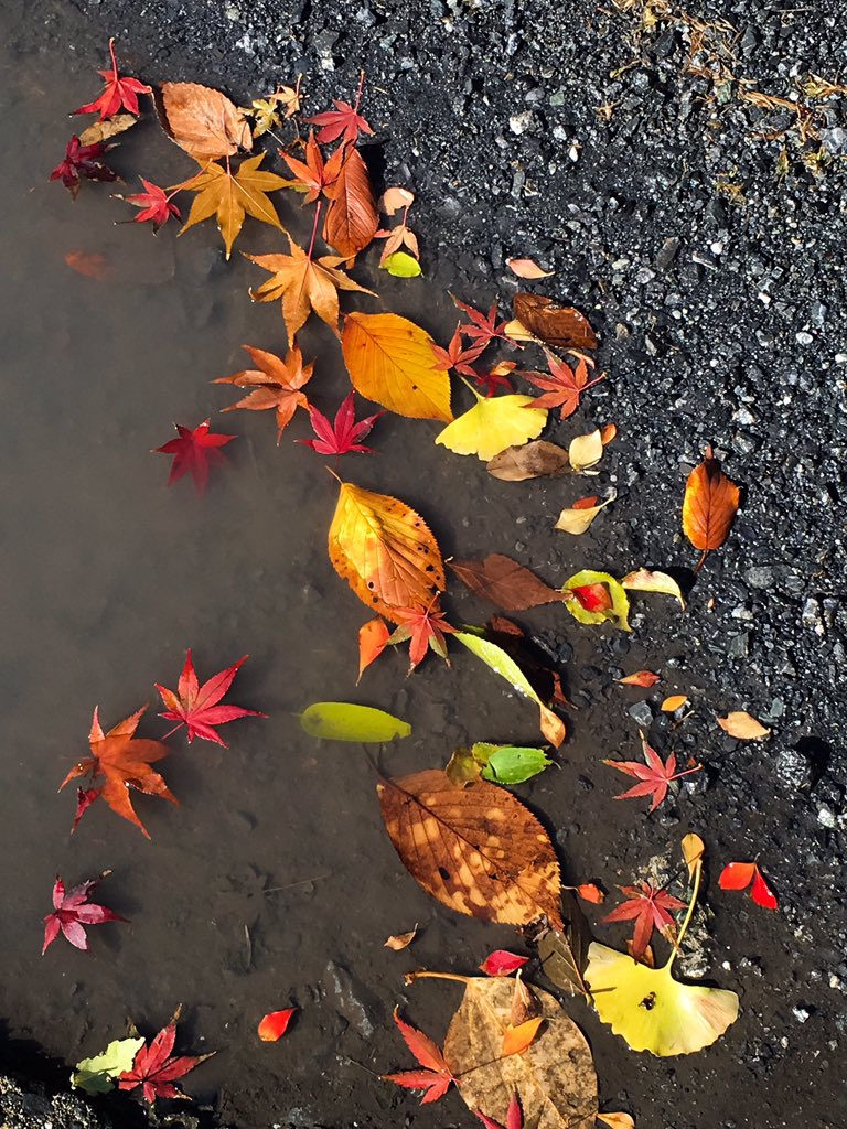 強風のせいで、水たまりに集まった落ち葉の共演が美しい〜〜