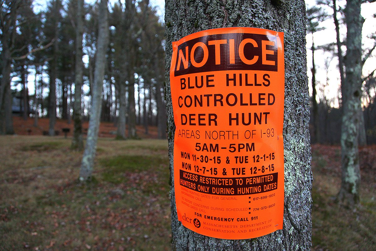 Thumbnail for Friend or doe? Blue Hills deer hunt begins