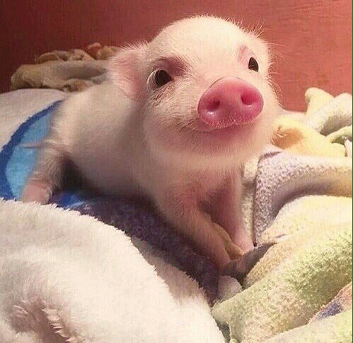 just cute pigs justcutepigs twitter