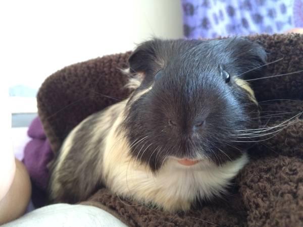 Parry Gripp On Twitter Guinea Pig Needs Home Https T Co