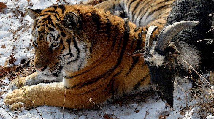 ロシアのサファリパークで、餌として与えられた黒ヤギが親友というトラが注目を集めてる。園の説明では、トラを恐れることを知らなかった黒ヤギを食べる気になれなかったのではないか・・とのこと。