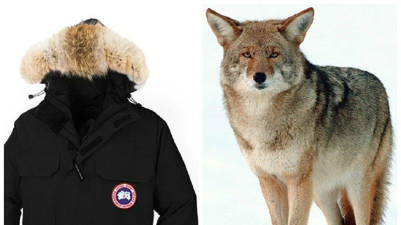 "RT @FBB_PORTEPAROLE: Stop @CanadaGooseInc from deceiving consumers: fur trim is not ""humane""! https://t.co/UguR8NI0Gm https://t.co/mhOzfawQ…"