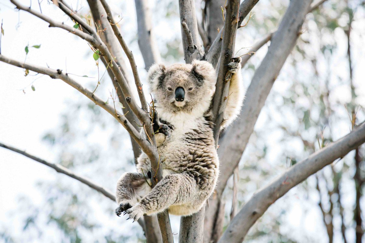 The Koala in the Coal Mine. Climate change & coal mining are killing off an iconic animal.  https://t.co/wsk5PaKMZp https://t.co/bY3Mxbd2IZ