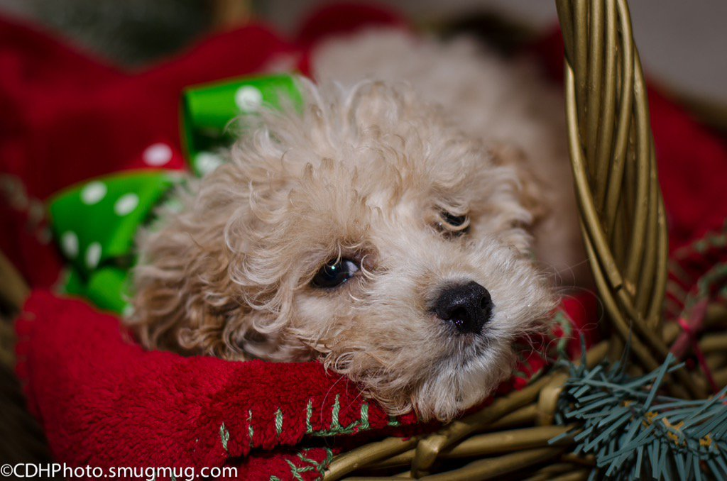 My #Furtographer side ❤️ https://cdhphoto.smugmug.com/Animals/BAILEY-H/ … #Christmas #puppies #cockapoo #BREAKING