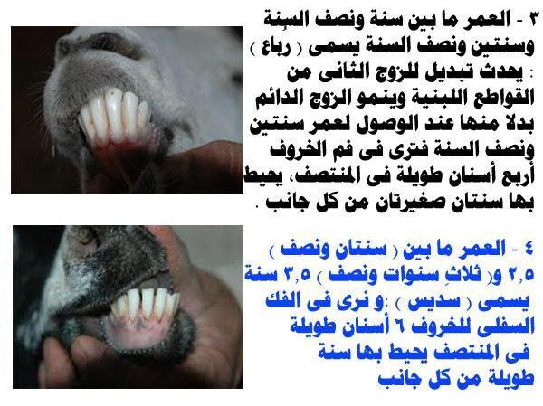المستهلك السعودي On Twitter كيف تعرف عمر الذبيحة قبل الشراء وأفضل وألذ لحم هو لحم الذبيحة التي عمرها لم يتجاوز سنة ونصف Https T Co Jhrttjpsun