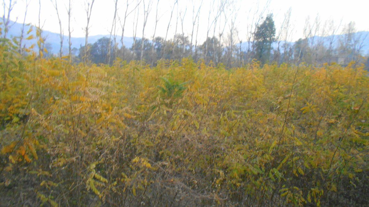 2 Drush Khela Nursery W 70 000 Plants Locally Known As Kekar Adding To Kp Billion Tree Plantation Program Cop21pic Twitter Sgs0pb6cl1