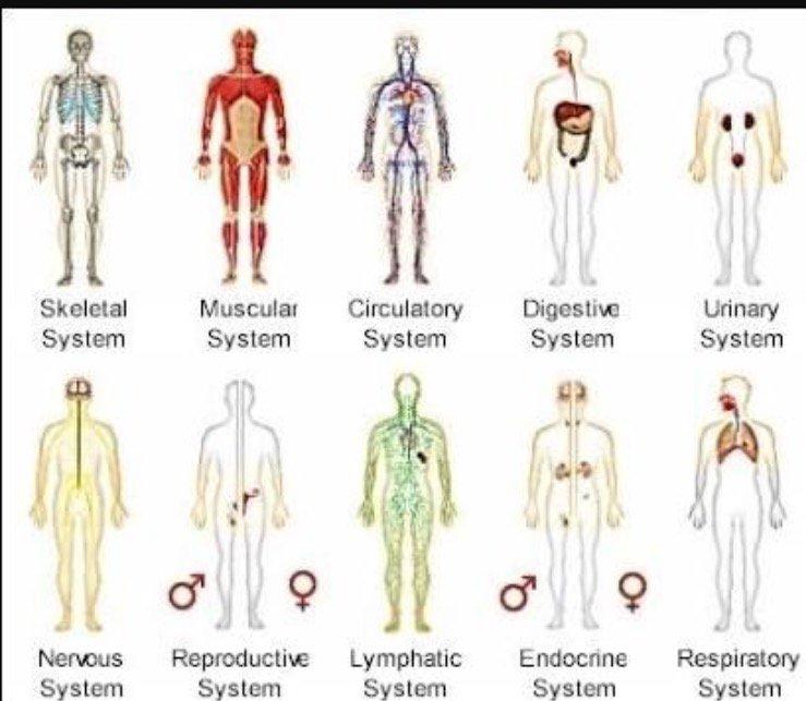 Human Organ Systems Chart Choice Image - human body anatomy
