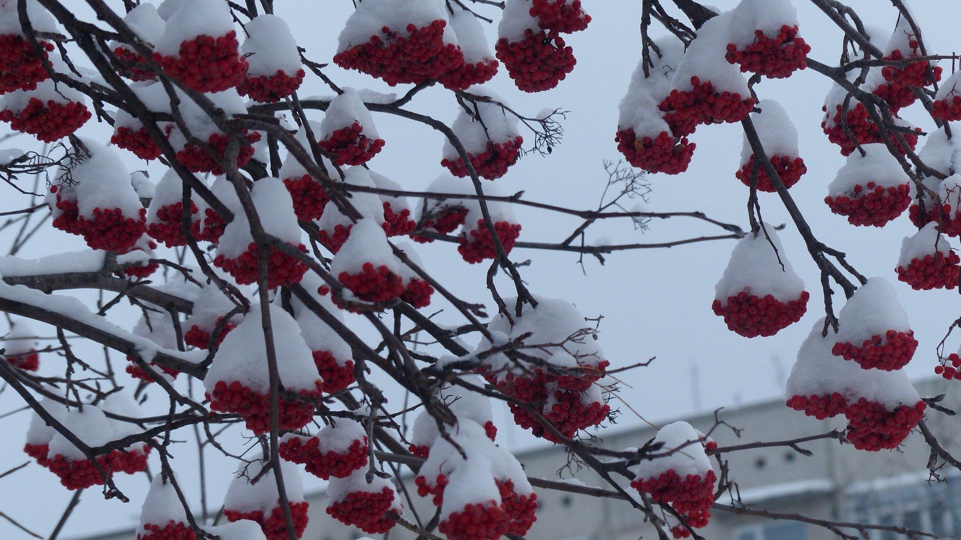 сердце из красной рябины на снегу фото если что