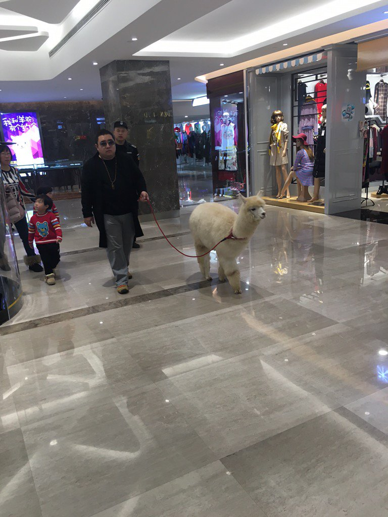 北京のデパートで堂々と散歩するアルパカさんを目撃!