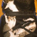 母ちゃん、どっこもいかニャいで!全力で旅支度を阻止する猫達が可愛いすぎる!