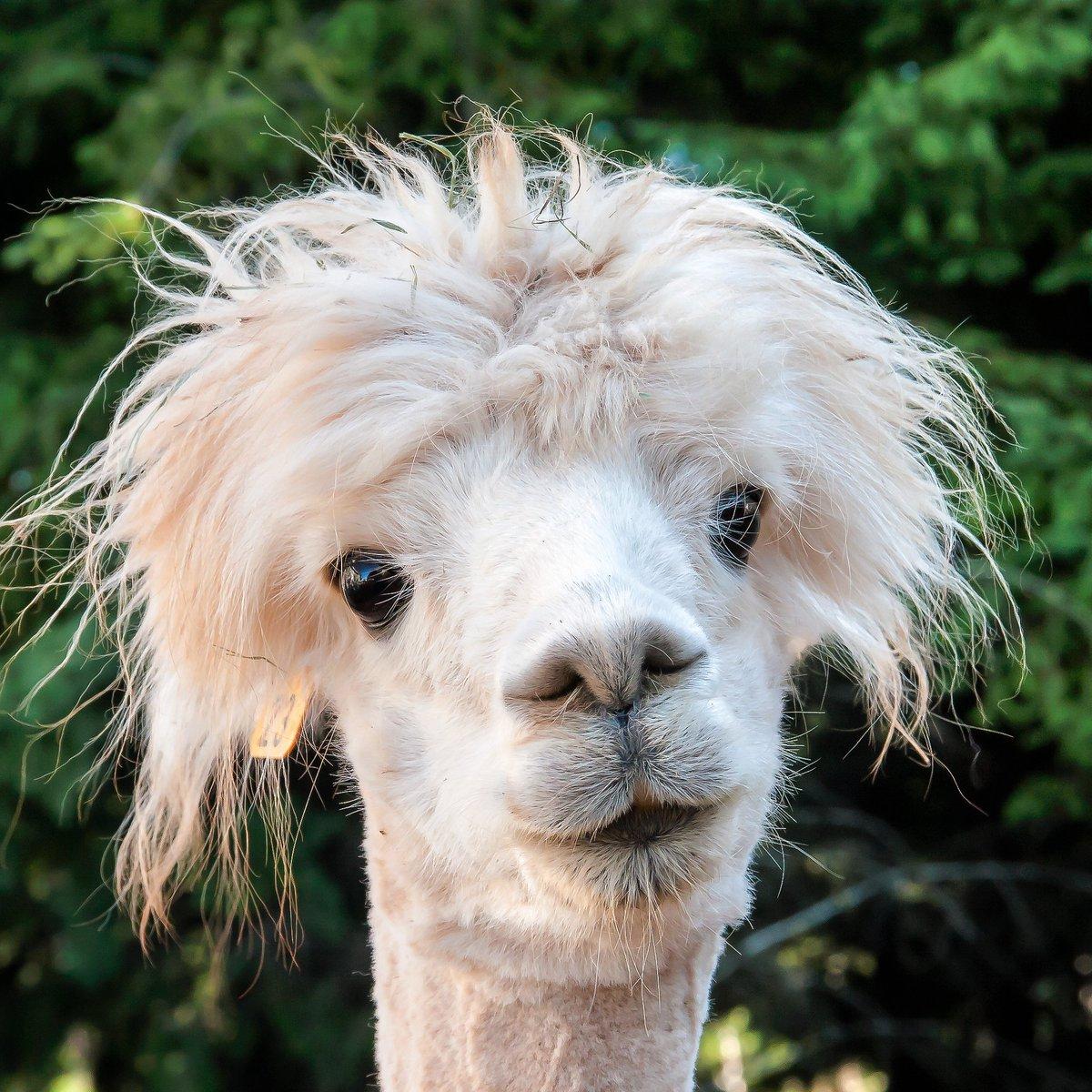 funny alpaca face