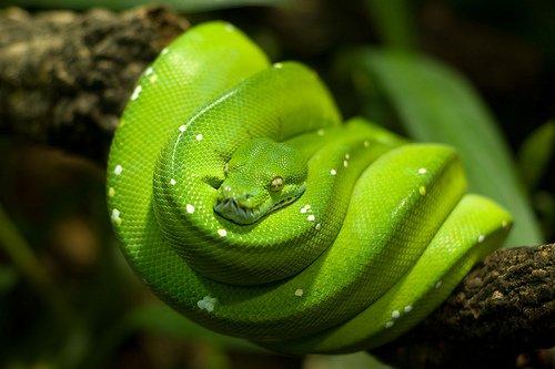 "GabReptile on Twitter: ""Le python vert(Morelia viridis)  https://t.co/tBy3TGLMBo"""