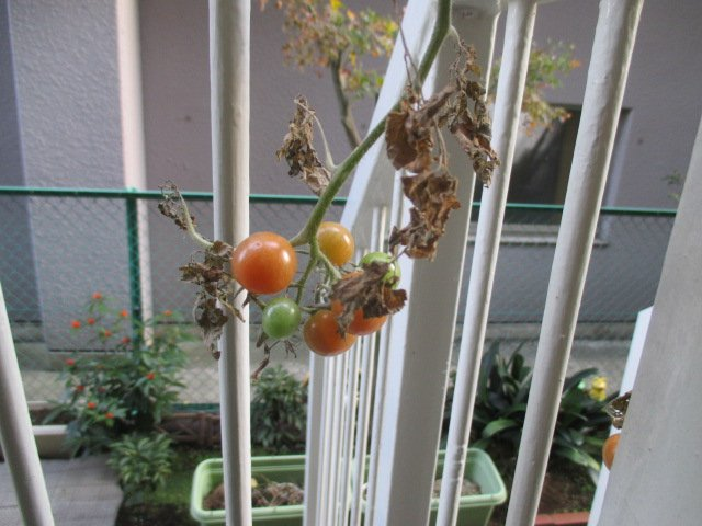 冬のプチトマト.jpg