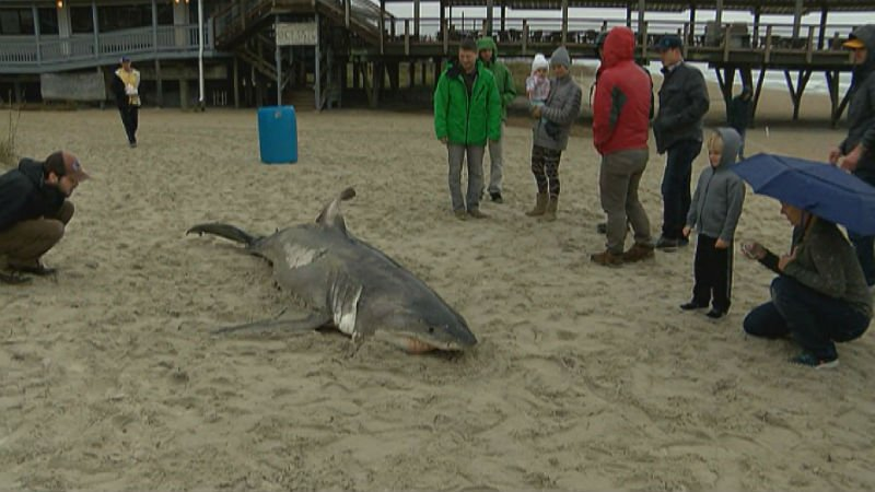 A large shark washed up on #WrightsvilleBeach this morning >>  https://t.co/4w9ODYhRPR #ilm