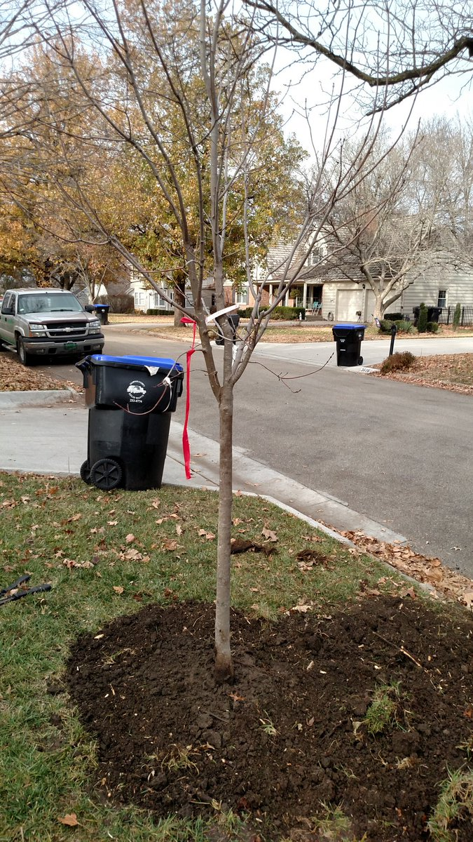Here she is, everyone. City will come back to mulch and water it #topekatweetalong #treelove https://t.co/q8KYDnguT9