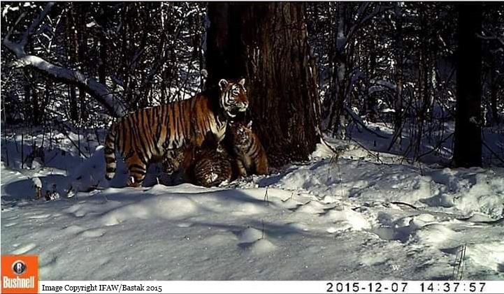 """Incredible success! """"Zolushka"""" has become the first rehabilitated Amur #tiger to give birth in the wild! https://t.co/3GMGEWEMiJ"""