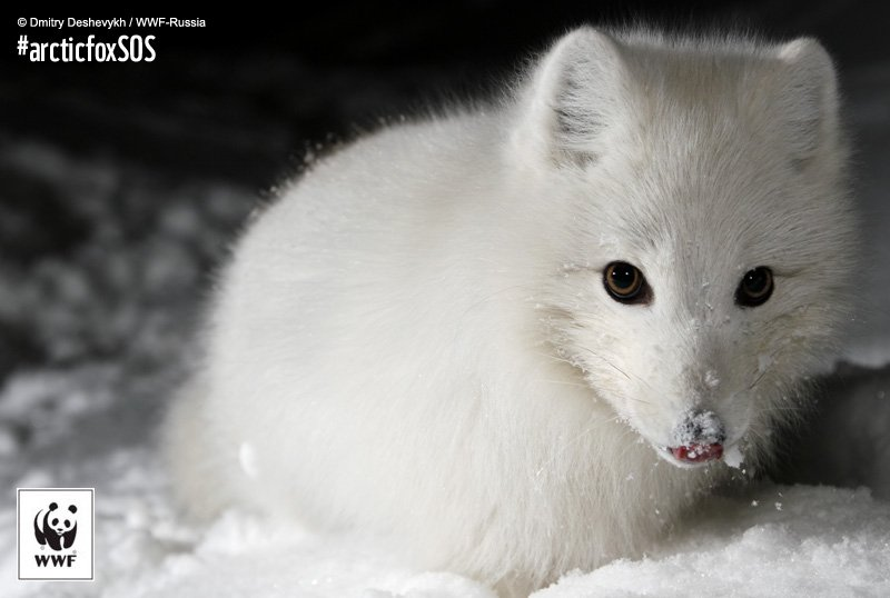 Sweden's Arctic foxes increased from 30 to 200+! But still lots to do: https://t.co/of49KjDVxQ #arcticfoxSOS https://t.co/wrtgeFw8UD
