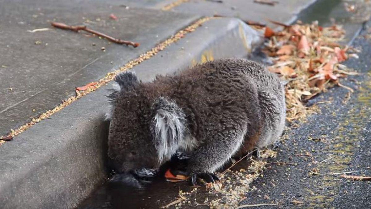 Caldo record in Australia, Koala aiutati a rinfrescarsi