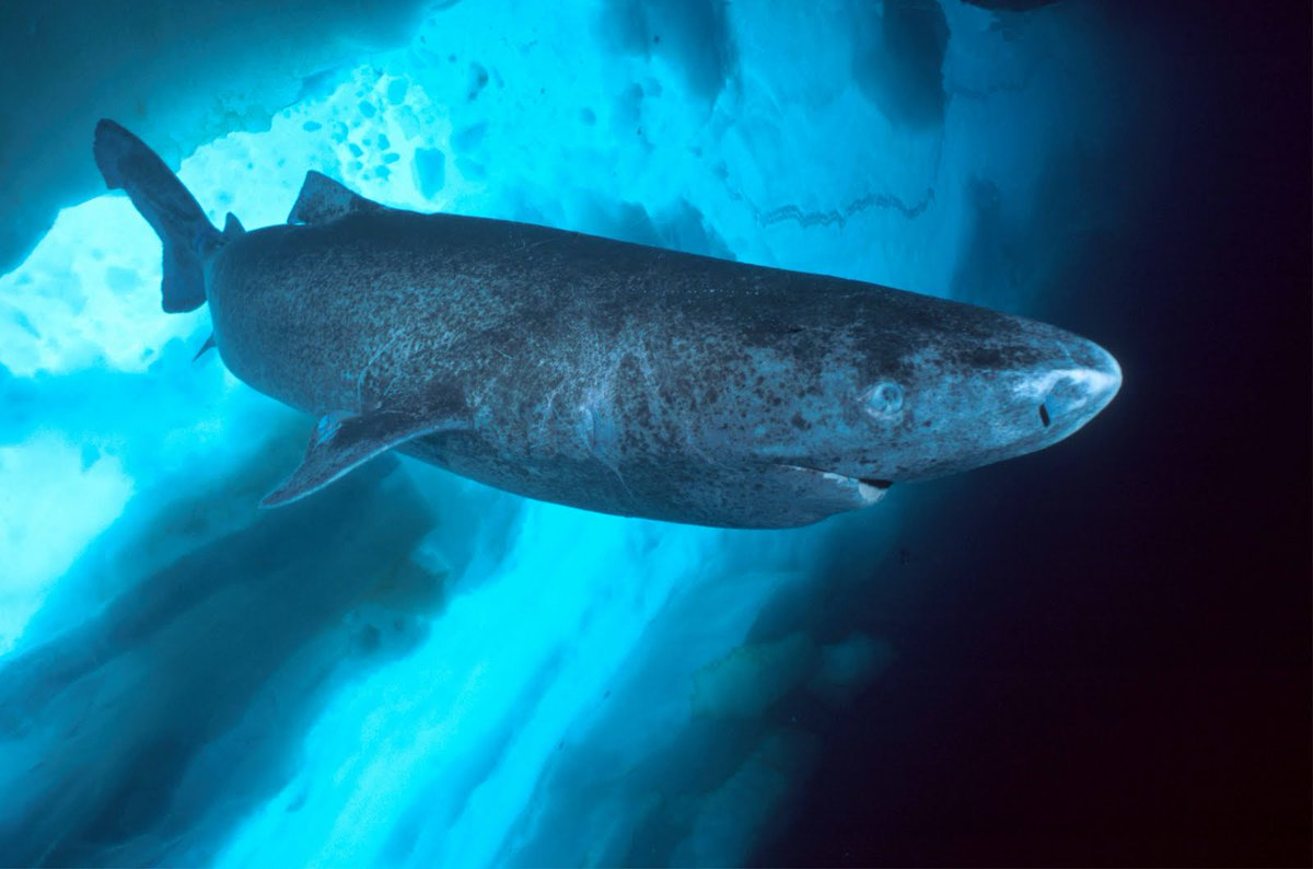 world class facts on the greenland shark eats polar  world class facts on the greenland shark eats polar bears and can live for 200 years t co rhc1nmvt7f