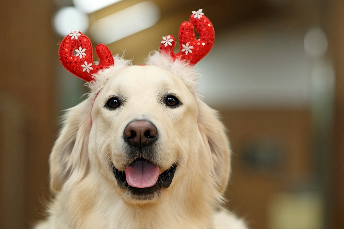 [안내견]  안내견학교에서 전해드리는 크리스마스 포토카드  안내견을 아시는 모든 분들이 행복한 크리스마스를 보내시길 바라며^^♡ 메리 크리스멍멍 https://t.co/mLPMjmLoWb