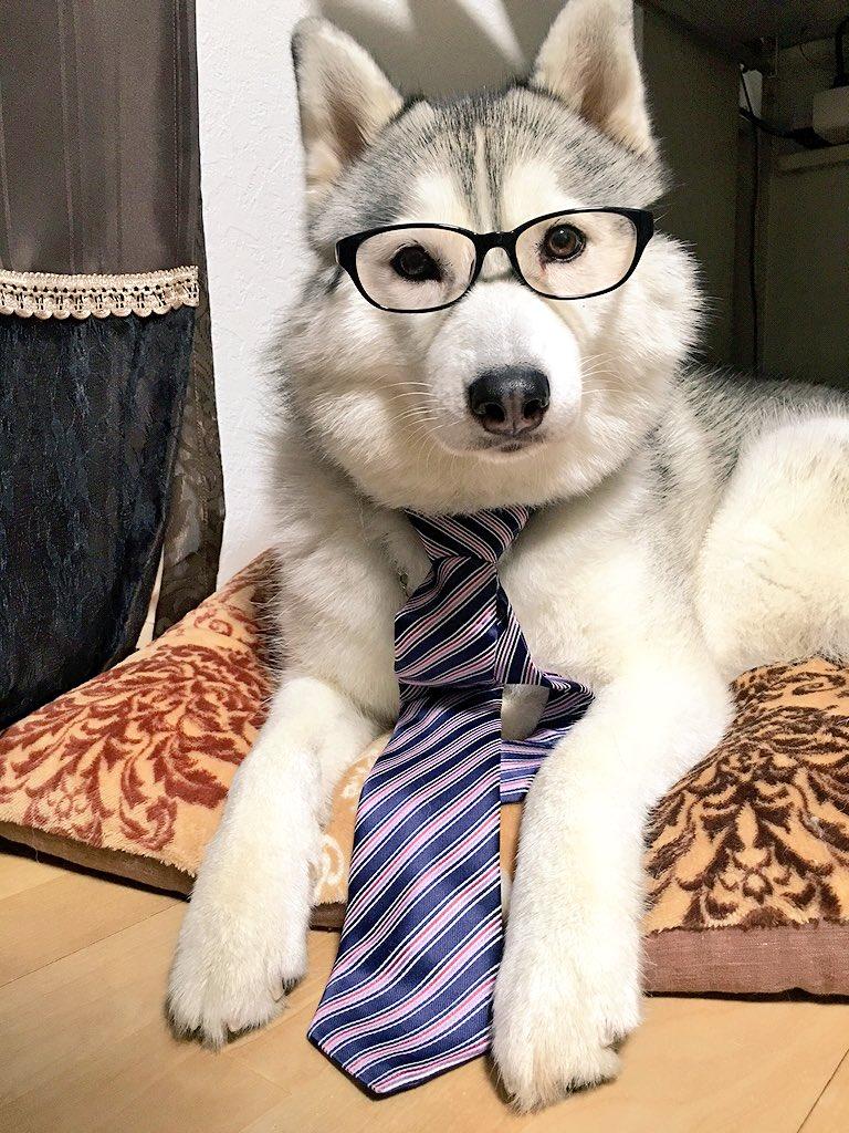 眼鏡姿とネクタイが似合うシベリアンハスキー