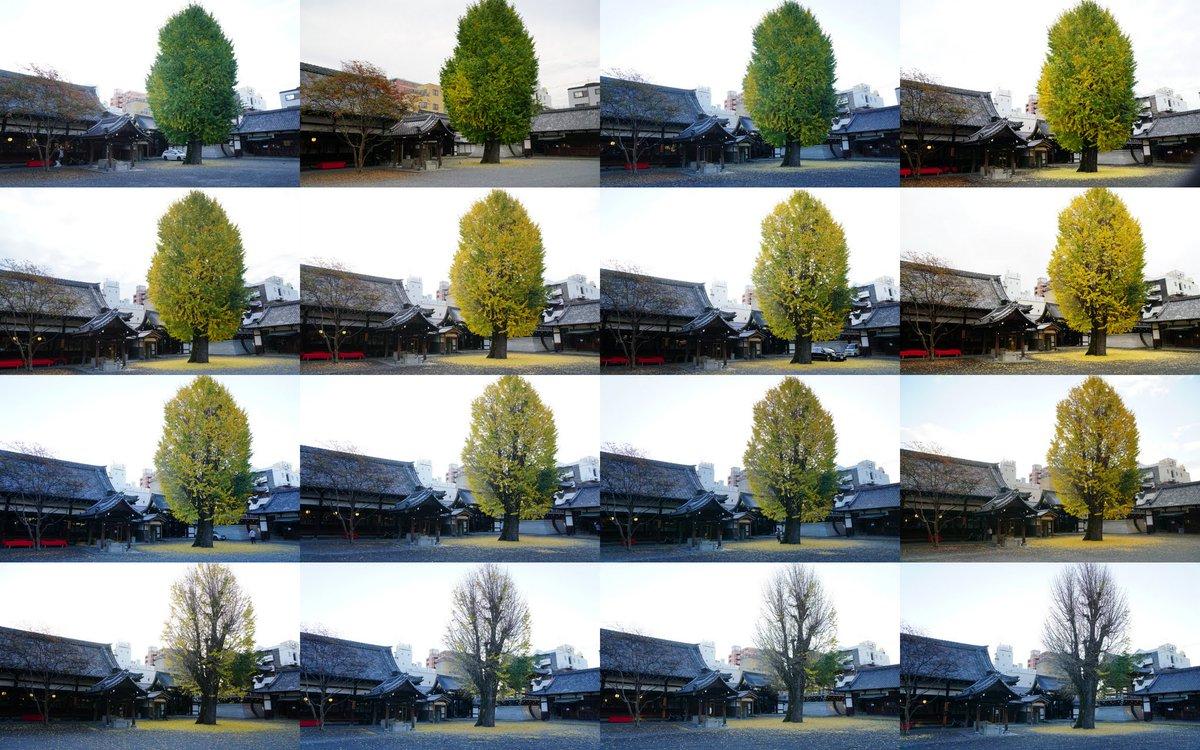 """■我是一棵秋天的树■  现在基本每天带着相机走路上班,途中会路过个不大不小的""""佛光寺"""",那里有棵孤独的银杏。这个秋天,我每次路过都定点摄之,记录了它在一个月中凋零的过程。选了十五张图拼成一张,从11月12日到12月9日。 https://t.co/MBStS4rHPf"""