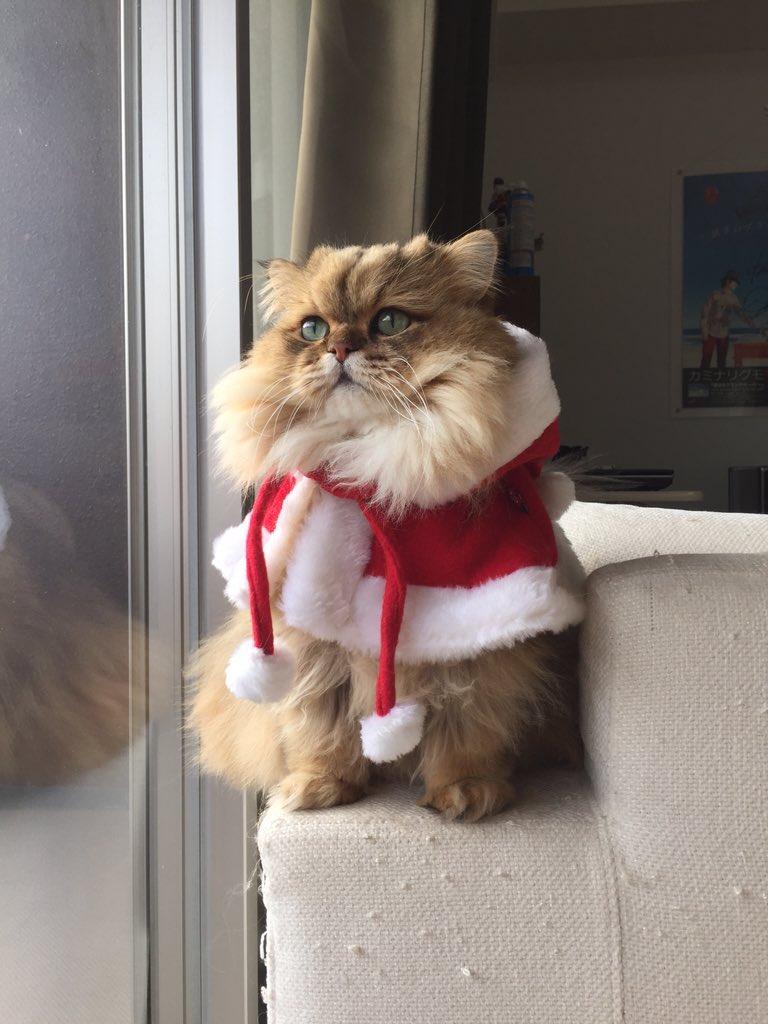 サンタさんケープ、かなりお気に入りのようです。頬毛…ふかふか…。@嫁 pic.twitter.com/slqWshTbCY