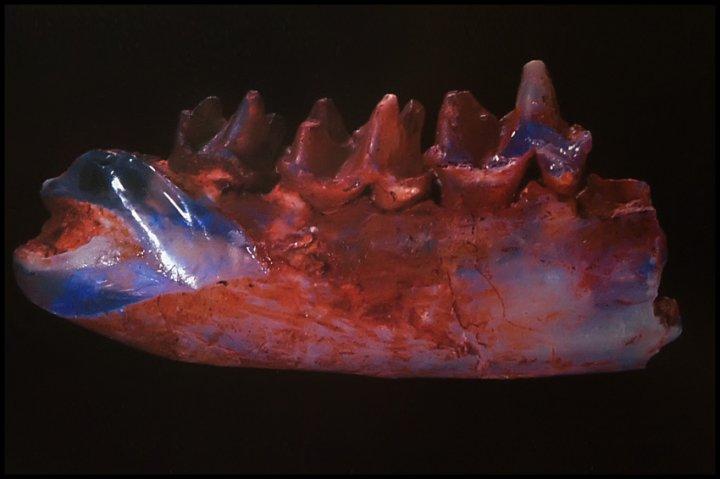 Afbeeldingsresultaat voor steropodon