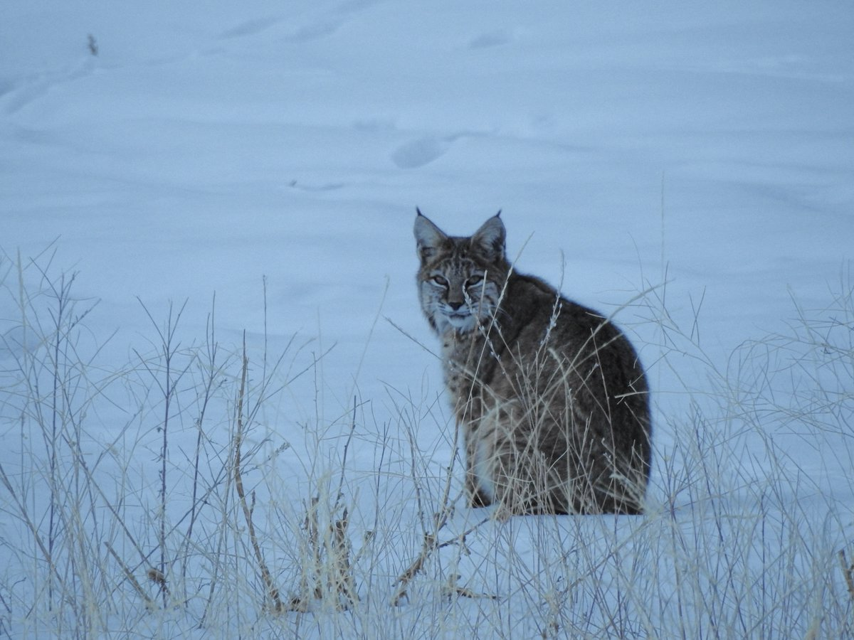 This beauty was hunting behind our house when I got home. #EstesPark #bobcat https://t.co/LhSbNekrvr