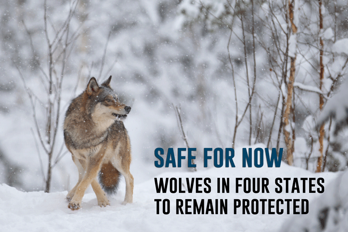 GREAT NEWS: Wolf riders eliminated from omnibus budget bill. #stand4wolves #keepwolveslisted https://t.co/MGIOVUakbY