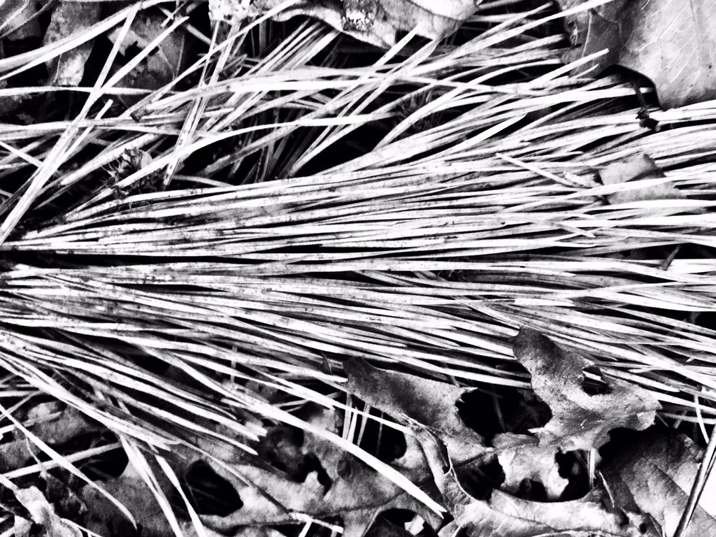 Day 350 https://t.co/BeKdLpF2oS #b&w #pineneedles #lines #photography #project365 https://t.co/9f1taLB85J