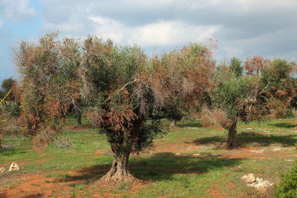 Washington Post e Nature su Xylella: scienziati italiani accusati di diffondere l'Ebola degli olivi