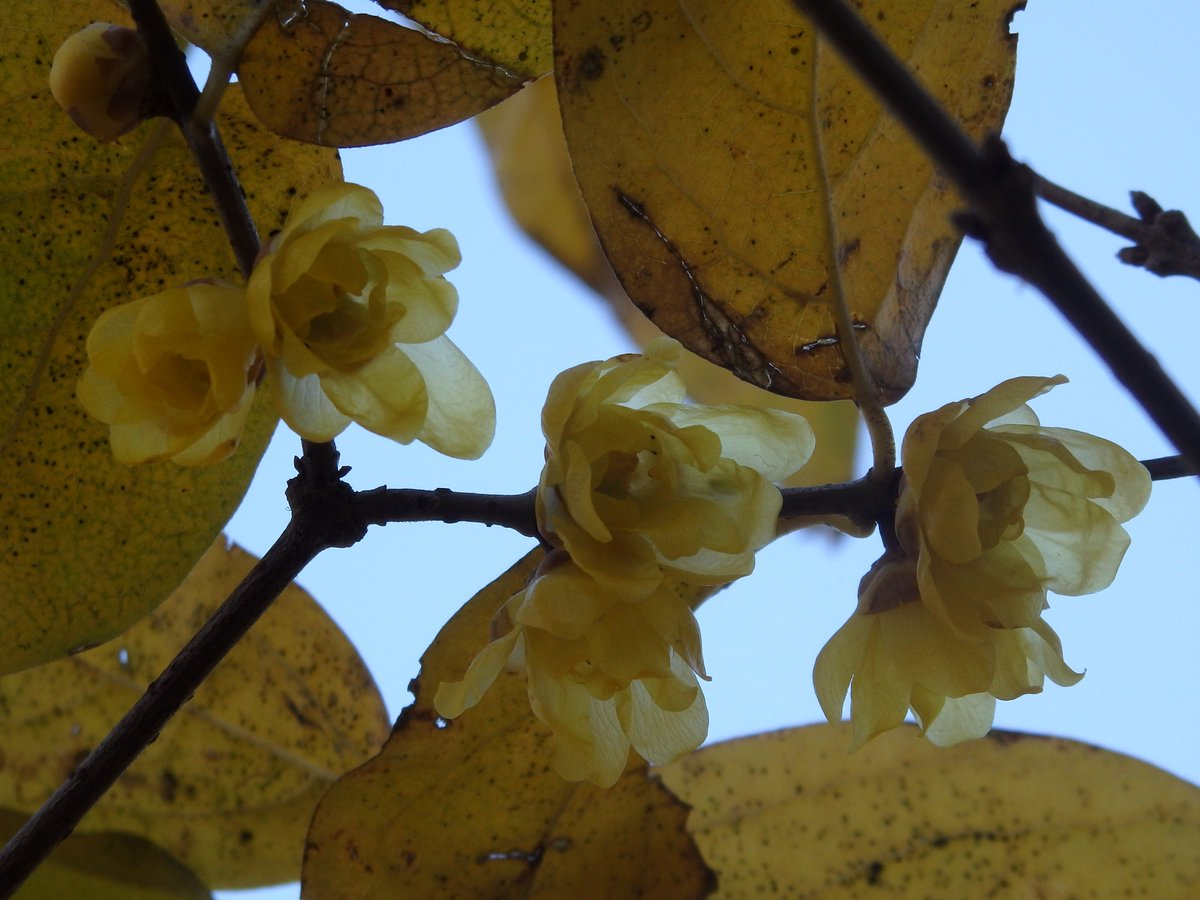 """【小石川後楽園】園内奥の梅林では""""ソシンロウバイ""""が咲き始めました。蝋細工のように繊細な花たちが、清らかな芳香を漂わせます。"""