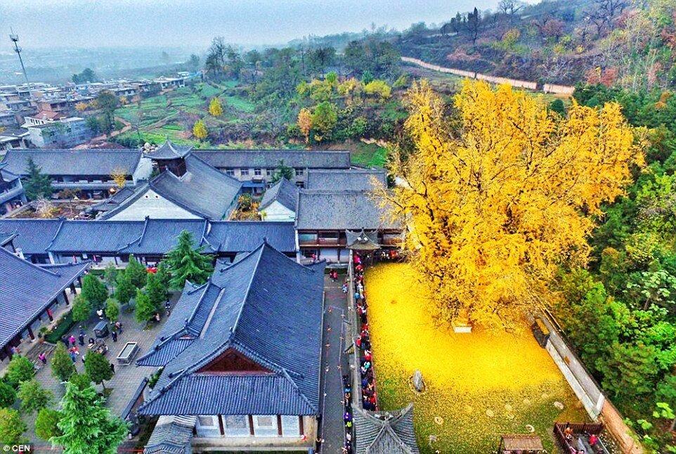 صورة لشجرة عمرها 1400 CWgFmNeWIAA2Q9V.jpg