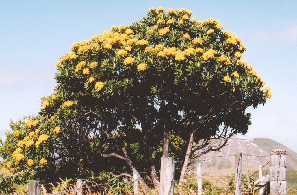 Island Christmas Tree.Govt Nz Team On Twitter Beautiful Rautini Or Chatham
