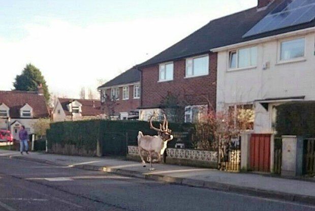 Reindeer gallops down streets after escaping from Christmas event at Tesco car park https://t.co/qFkTXpzDrG https://t.co/lvzNtpSKua