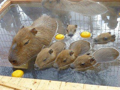 2015年12月22日(火)は冬至です。須坂市動物園では本日22日午前11時~午前11時30分(終了予定)のカピバラ温泉は毎年恒例「ゆず湯」を開催します! 良い香りのする「ゆず湯」に入るカピバラたちに会いに来てください。 https://t.co/MS8yFeNL5V