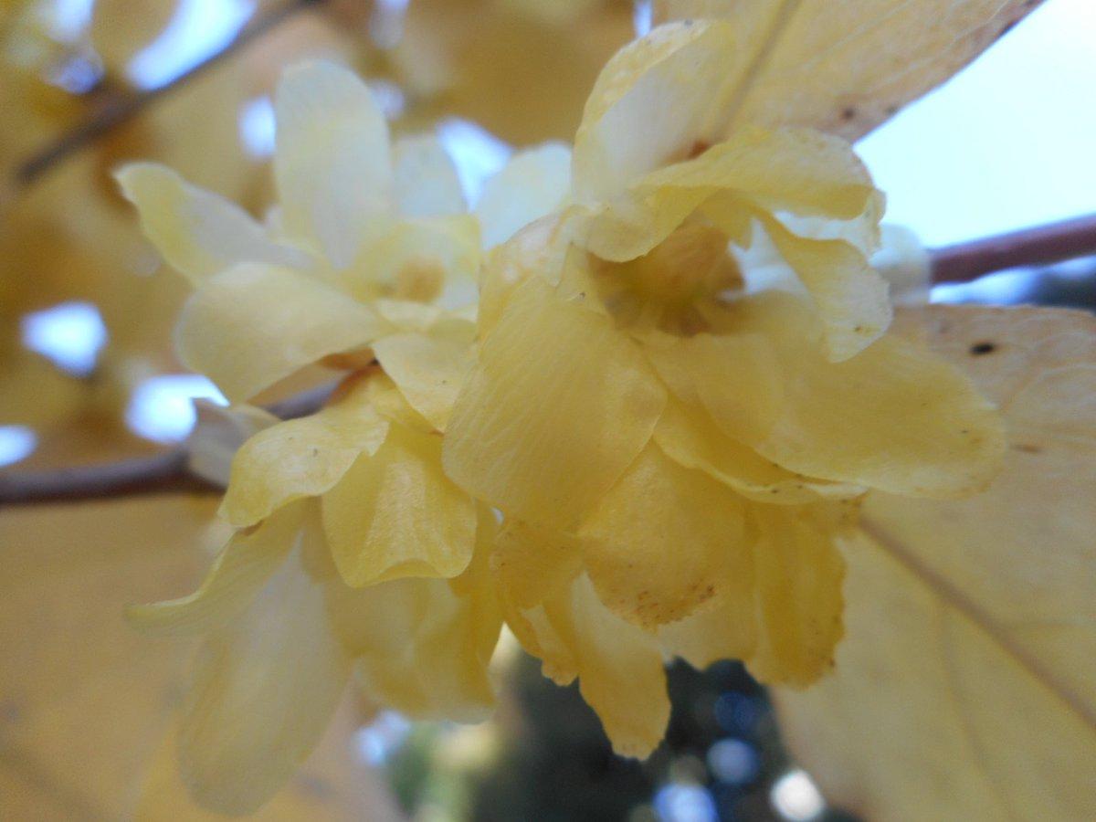 【殿ヶ谷戸庭園】黄色のロウバイが咲き始め園内によい香りが漂い始めています。是非ご来園下さい。