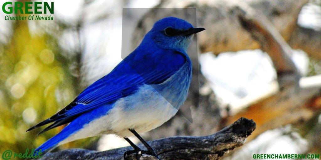 Green Chamber Of Nv On Twitter National Bird Day The Nevada State Bird Is The Mountain Bluebird Https T Co Rgl5aijd0c Https T Co Zsozmynre8 Https T Co Pxshinhpww