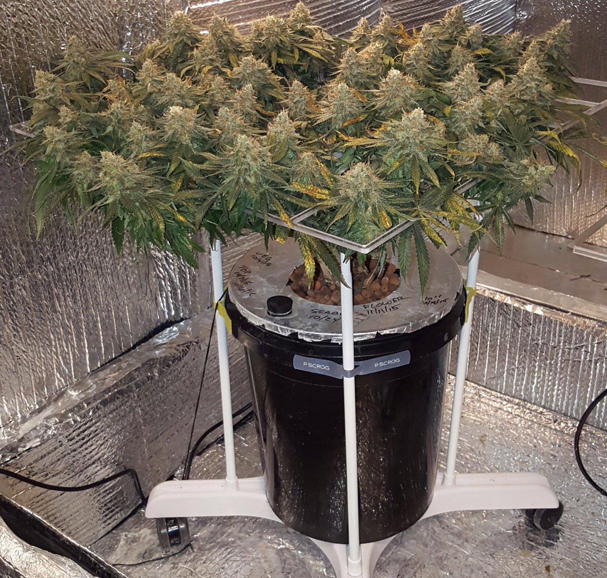 Раствор для гидропоника для марихуаны марихуана при простуде