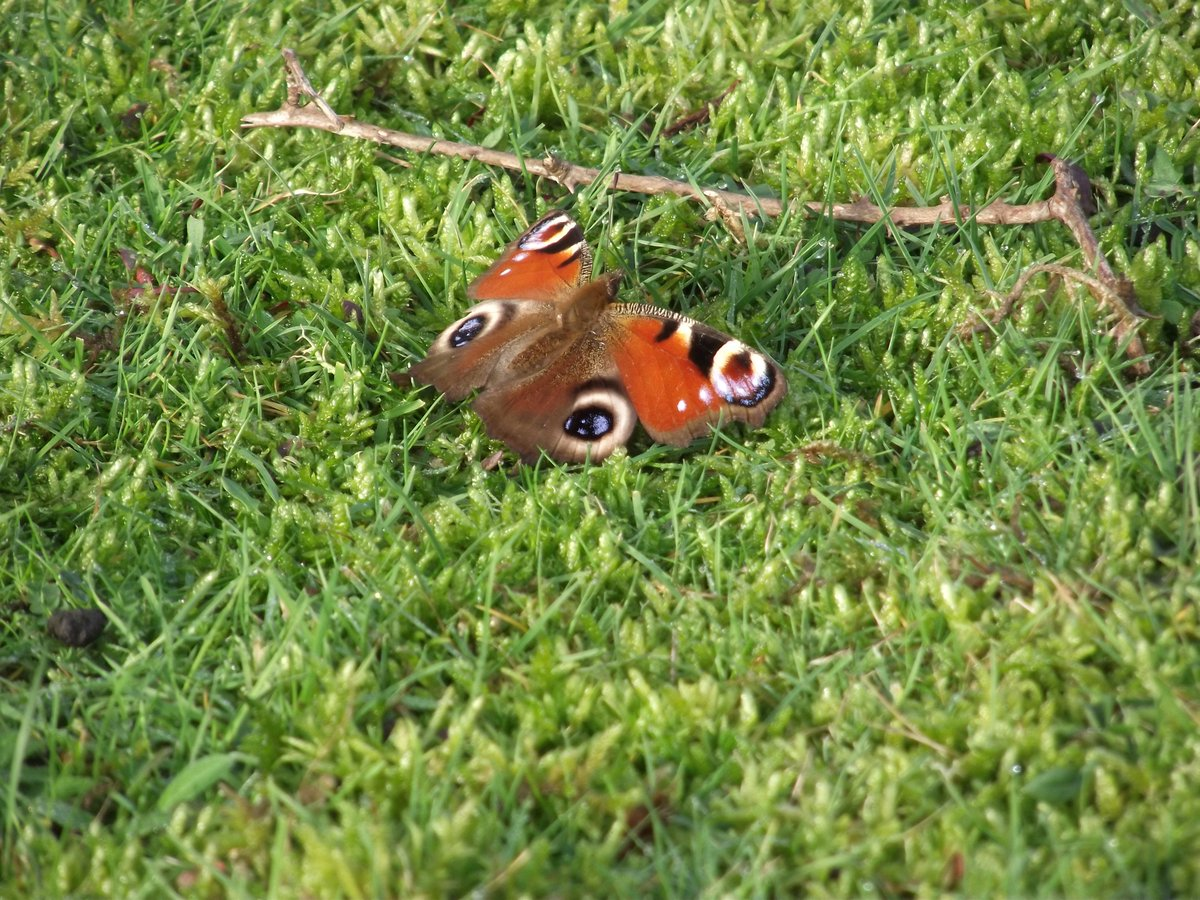 Peacock butterfly, 4 January 2016