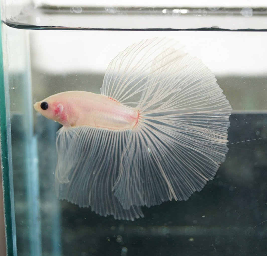 Pink Betta Fish | Betta Fish Pictures On Twitter Amazing Clear Pink Betta Https T