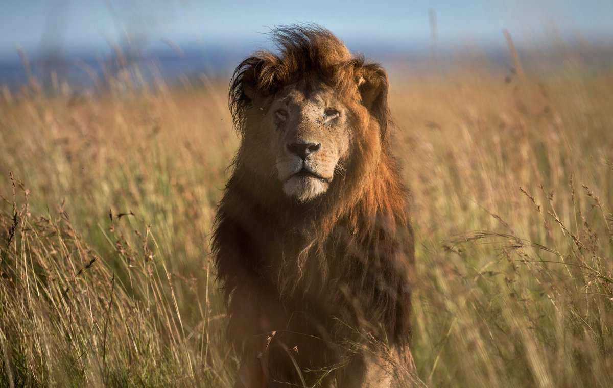 After #CecilTheLion, US aims to protect lions in Endangered Species Act: https://t.co/zAYihDXaBB via @NYTimes https://t.co/2UbVfi0Zck
