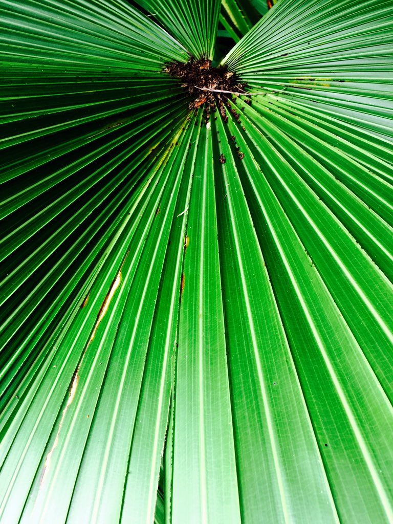 Day 363 https://t.co/BeKdLpWDgq #palmtree #leaf #lines #photography #project365 https://t.co/soBJe7uN9x