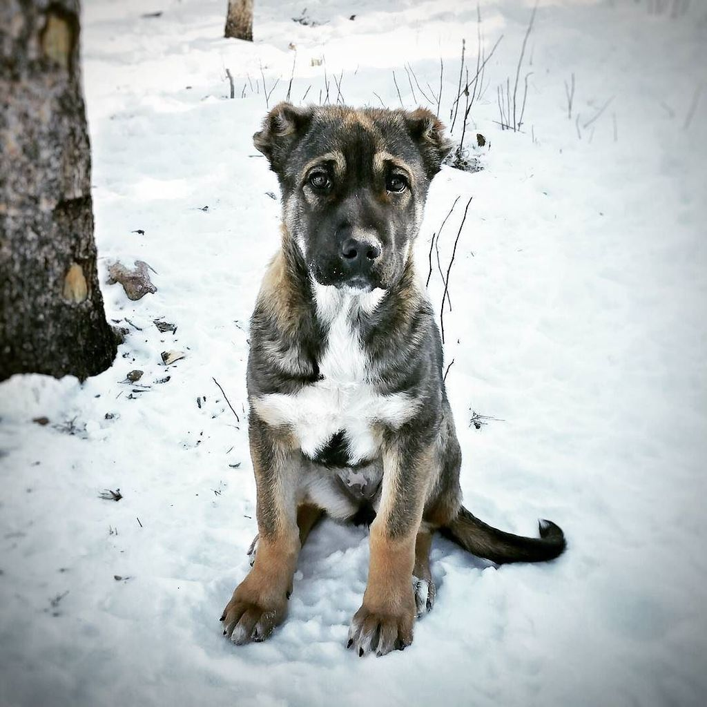 Armenian gampr: photos, breed description, character, content features and owner reviews 2